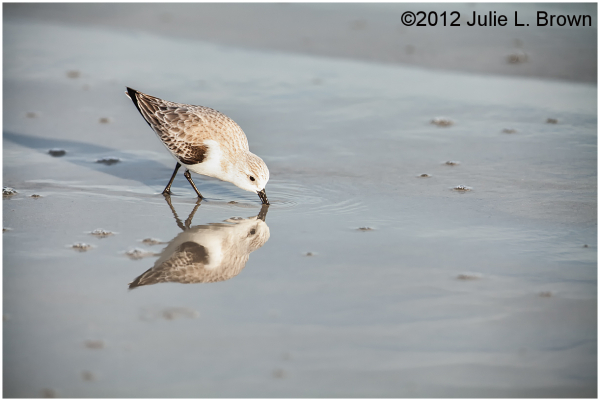 sanderling with perfect reflection