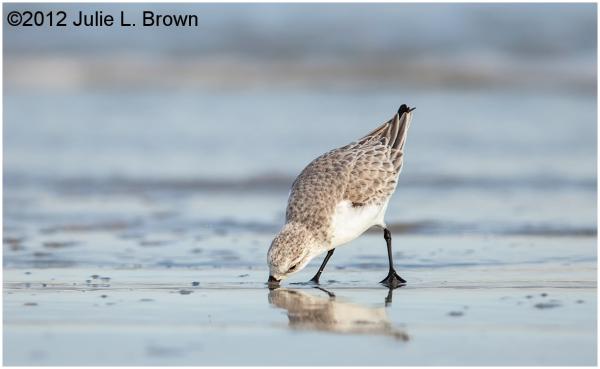 sanderling feeding on beach fernandina beach