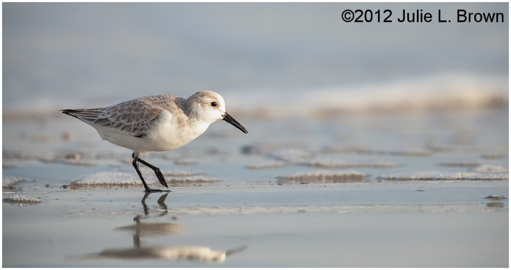 sanderling walking on beach fernandina beach