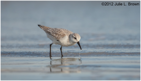 sanderling feeding fernandina beach