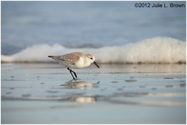 sanderling walking fernandina beach florida