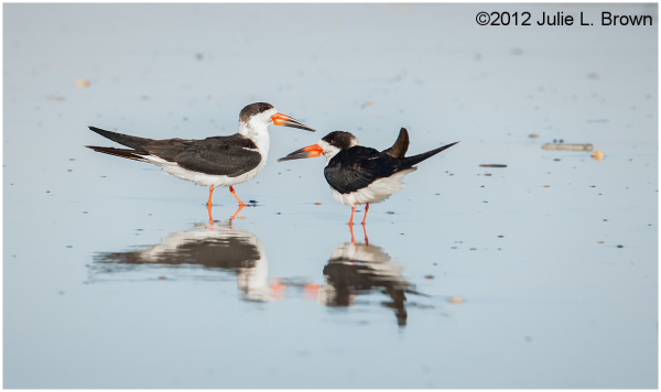 black skimmers with their reflections on the beach