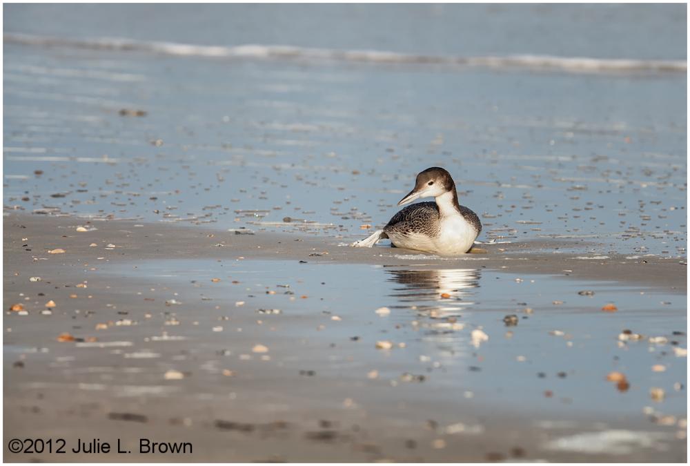 common loon sitting on the beach florida winter