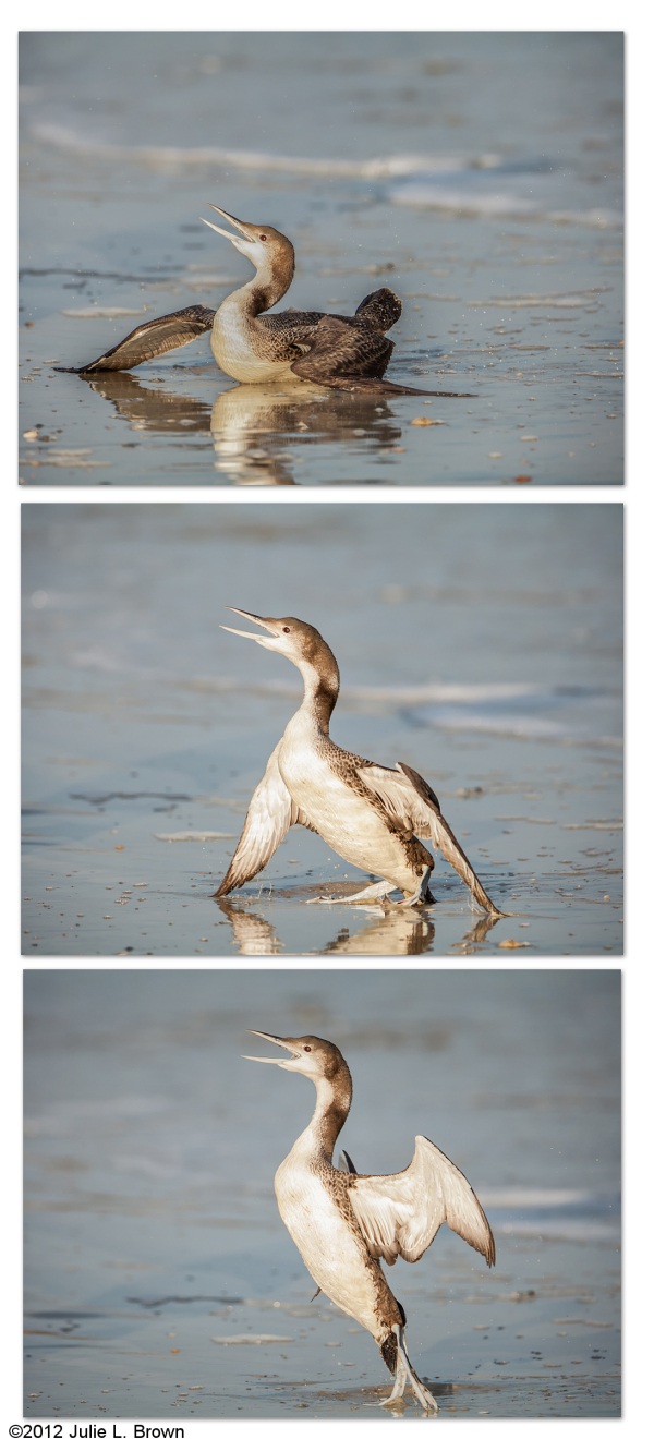 common loon in threat display fernandina beach