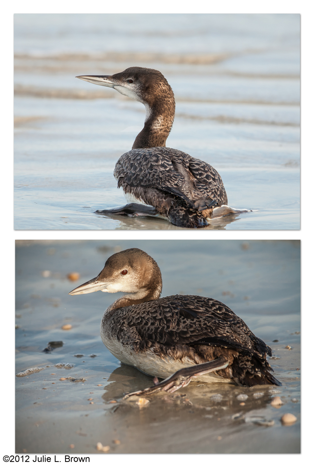 common loon sitting on the beach florida winter