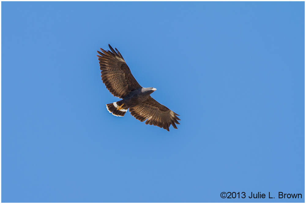 common black hawk in flight page springs arizona