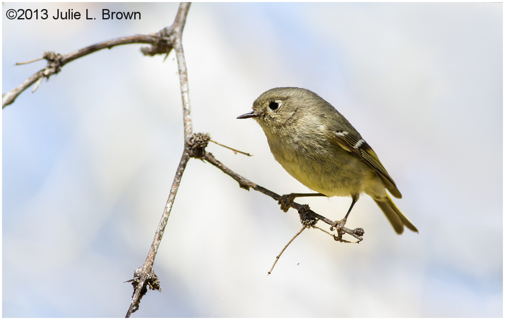 Ruby-crowned Kinglet page springs fish hatchery