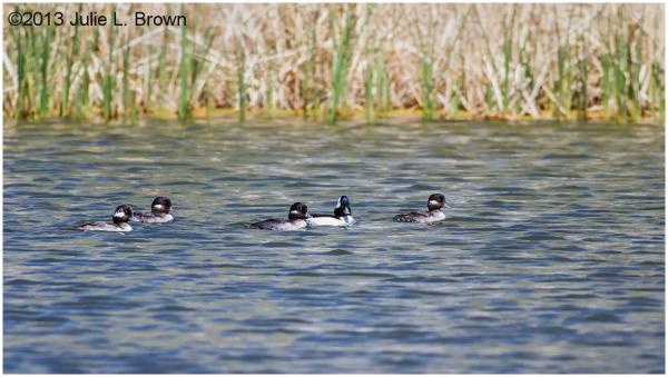 bufflehead family sedona wetlands arizona