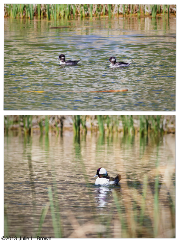 male, female, 1st year male bufflehead arizona