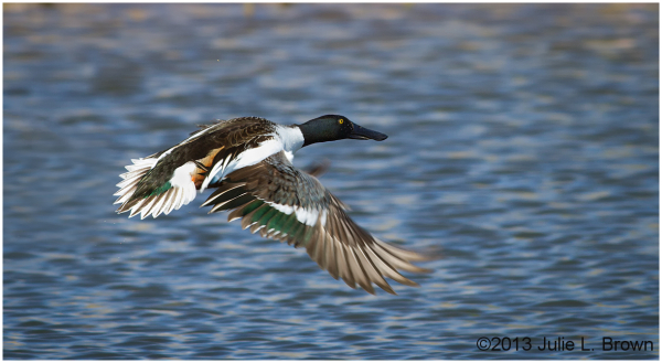 northern shoveler drake in flight sedona wetlands