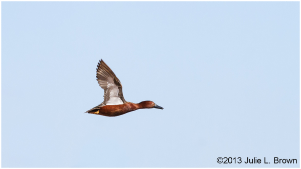 cinnamon teal drake in flight sedona wetlands