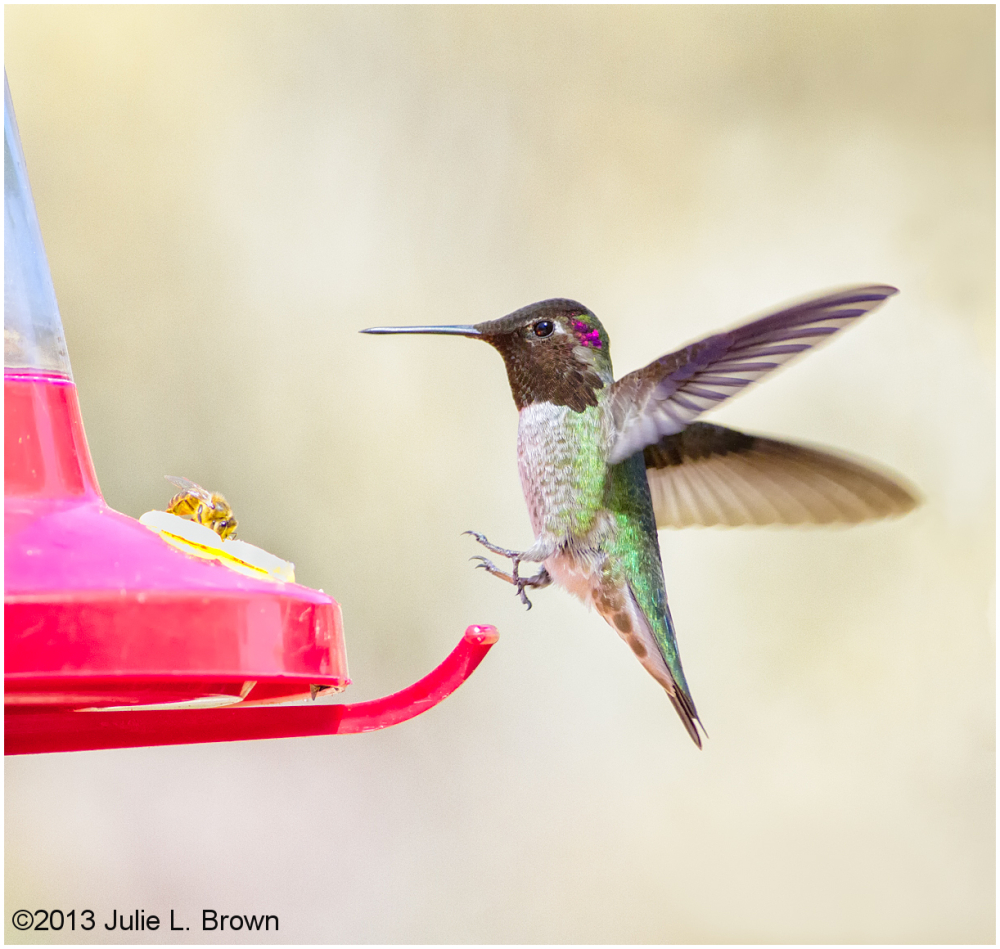 anna's hummingbird at feeder at red rock SP sedona