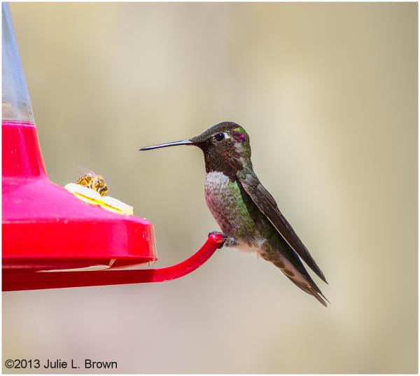 anna's hummingbird at feeder at red rock SP sedona