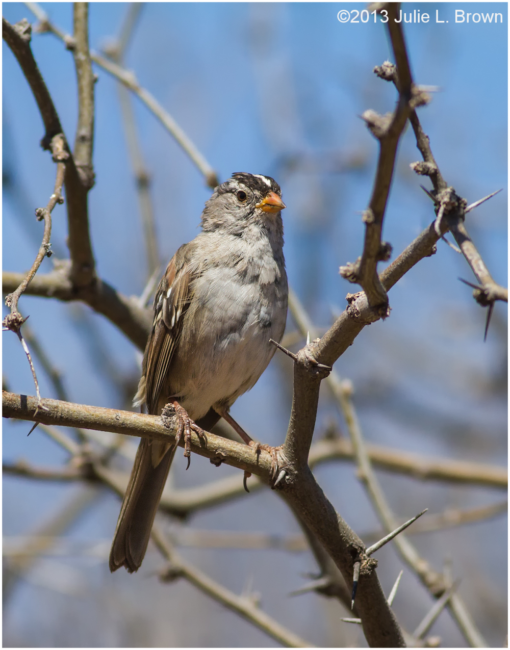 ragged white-crowned sparrow red rock state park