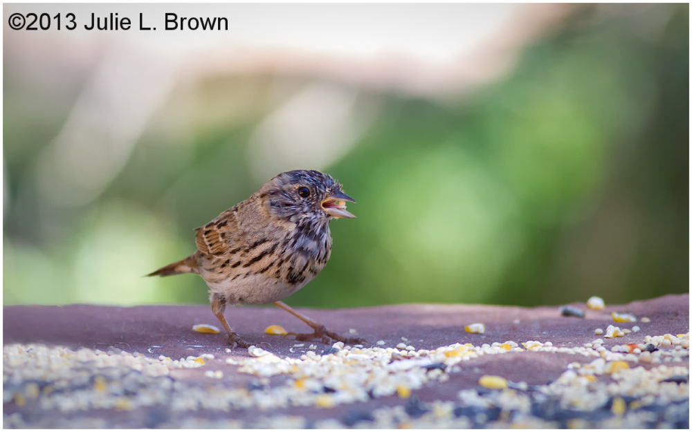 lincoln's sparrow juvenile red rock state park