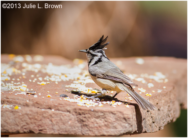 bridled titmouse red rock state park sedona