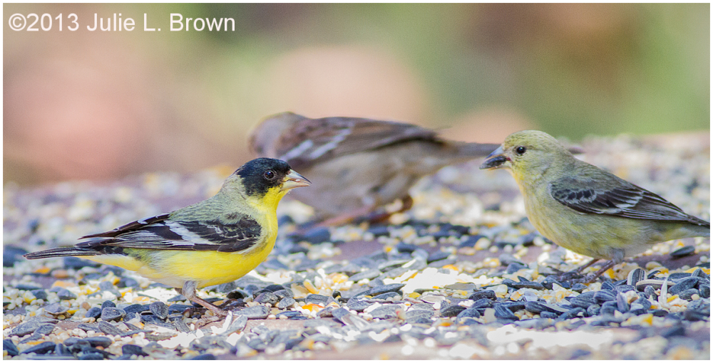 pair of lesser goldfinches foraging for seeds