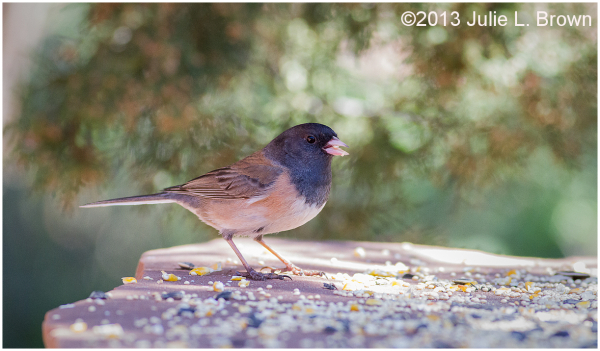 female dark-eyed junco red rock state park sedona