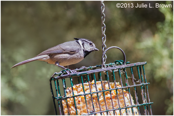 bridled titmouse eating suet red rock state park