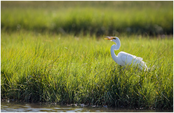 great egret with fish scarborough marsh maine