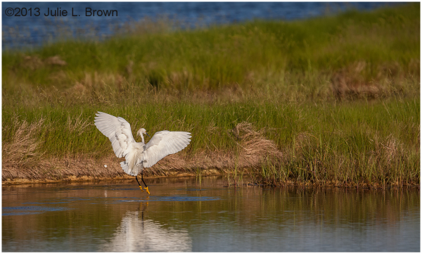 snowy egret wings up scarborough marsh maine