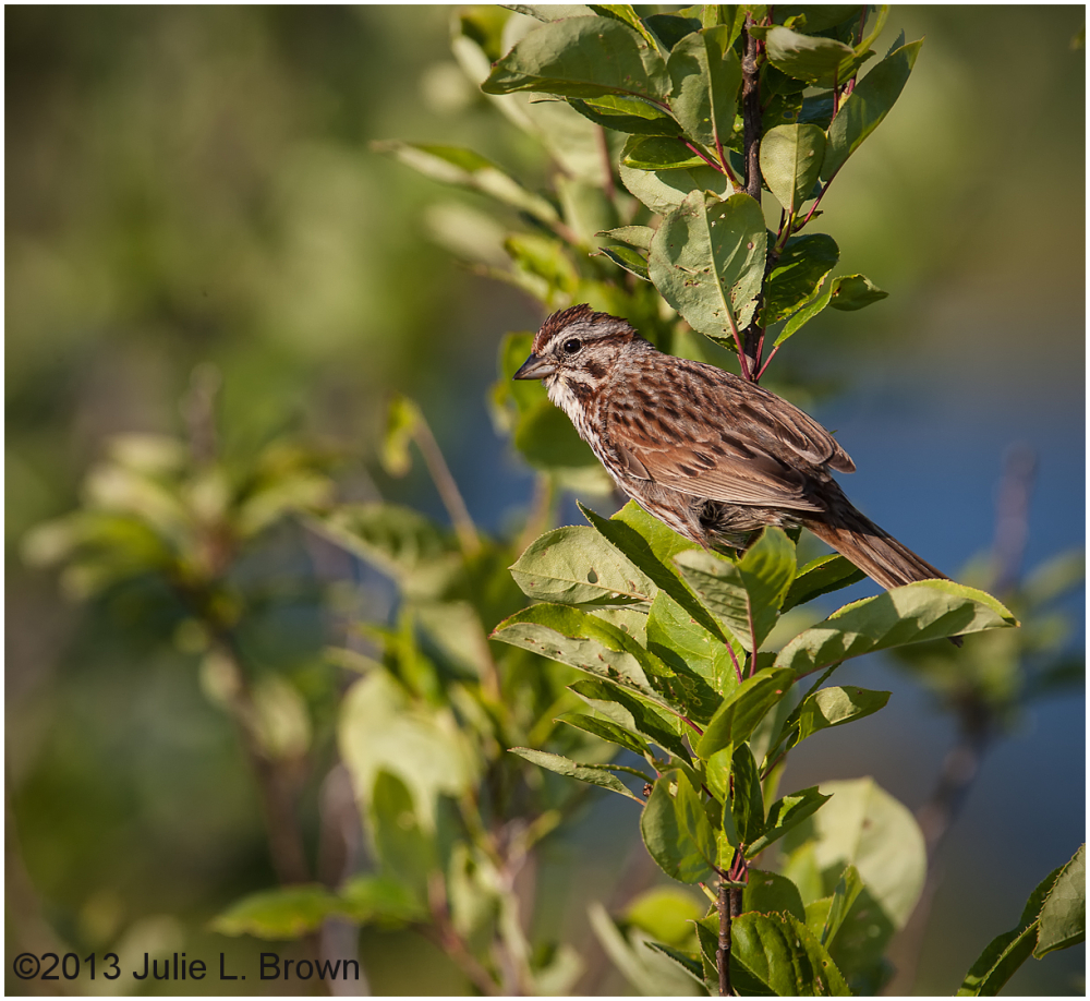 song sparrow in habitat scarborough marsh maine