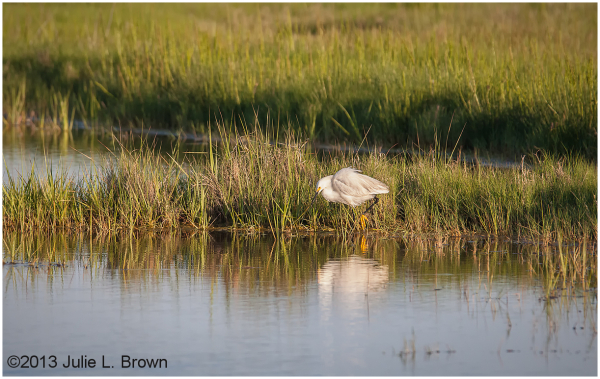 snowy egret in evening light at scarborough marsh