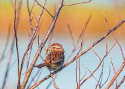 Song Sparrow with prey, Scarborough Marsh
