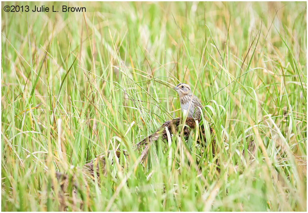 saltmarsh sparrow in habitat scarborough  marsh