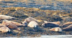Atlantic Harbor Seals, Muscongus Bay, Maine