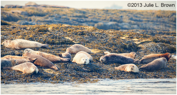 basking harbor seals in muscongus bay maine