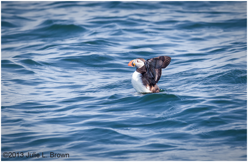 atlantic puffin wings up muscongus bay maine