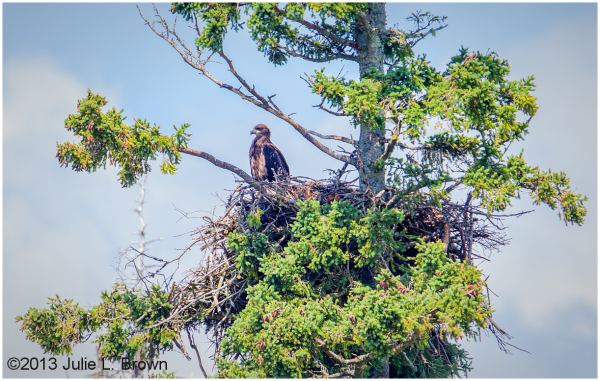 juvenile bald eagle at nest muscongus bay maine