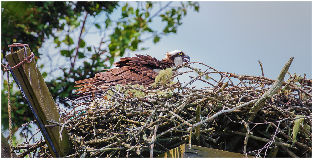 osprey parent in nest hog island audubon camp