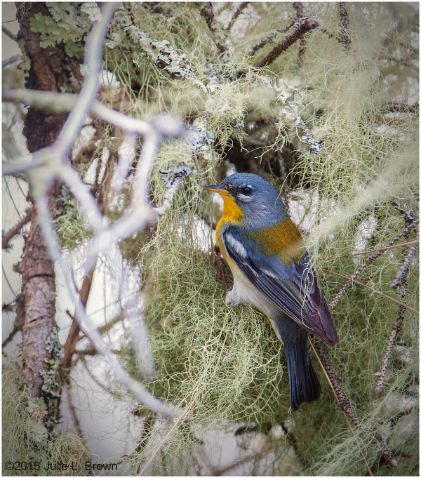 northern parula at nest hog island maine