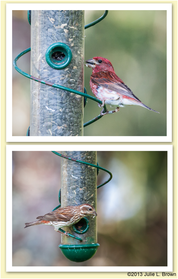 male and purple finch at feeders hog island