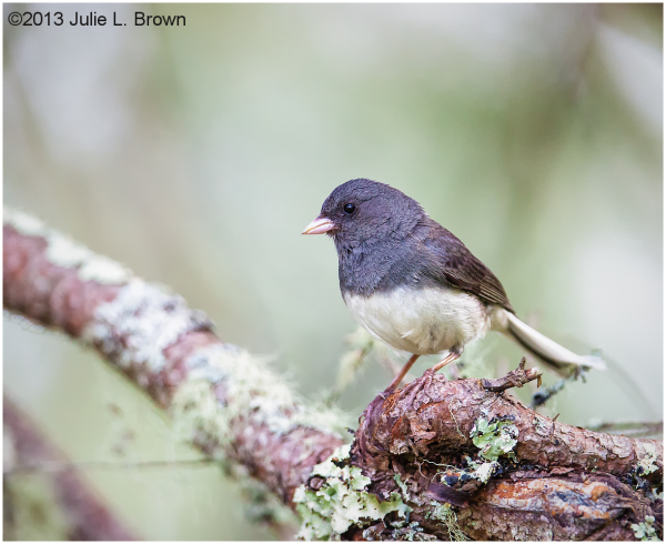 adult male slate-colored dark-eyed junco hogisland