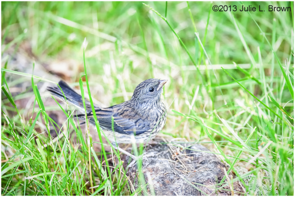 juvenile slate-colored dark-eyed junco hog island