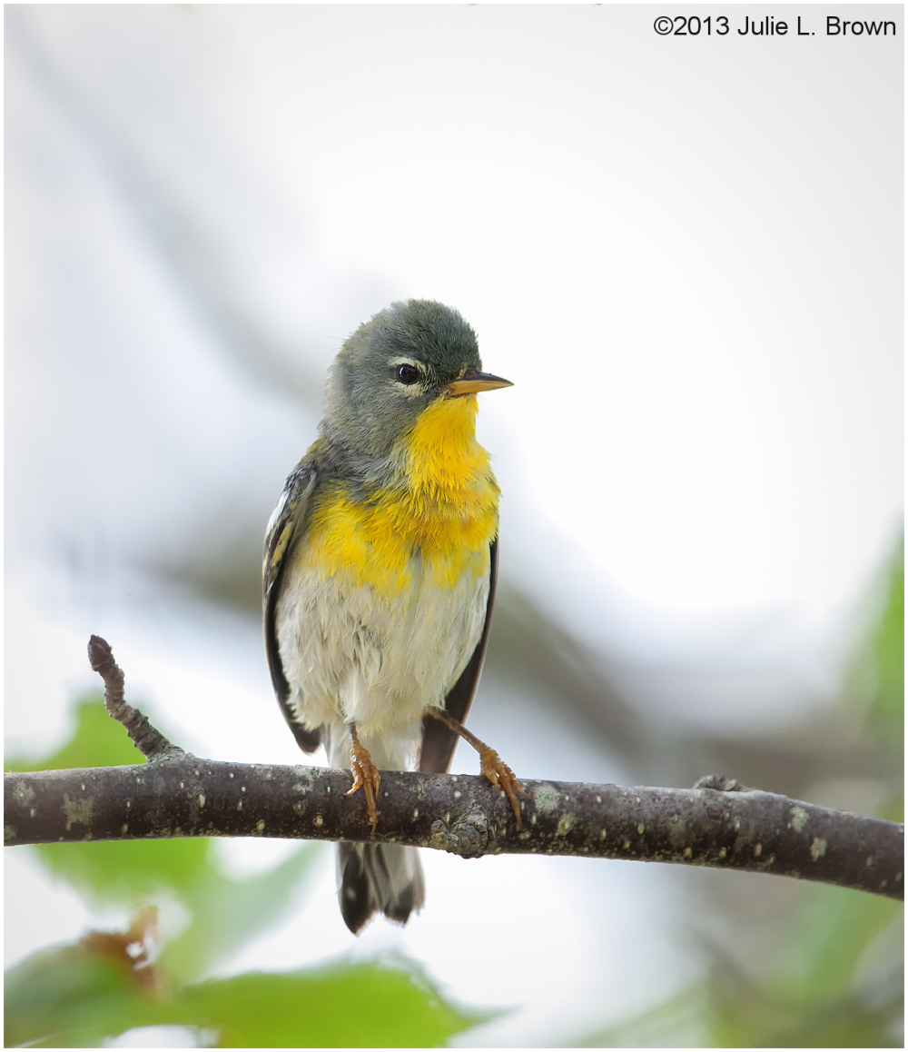 Front view of Northern Parula hog island maine