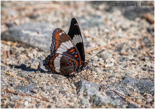 white admiral butterfly bremen maine