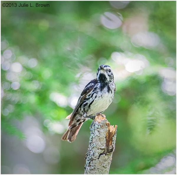 black & white warbler on a stick