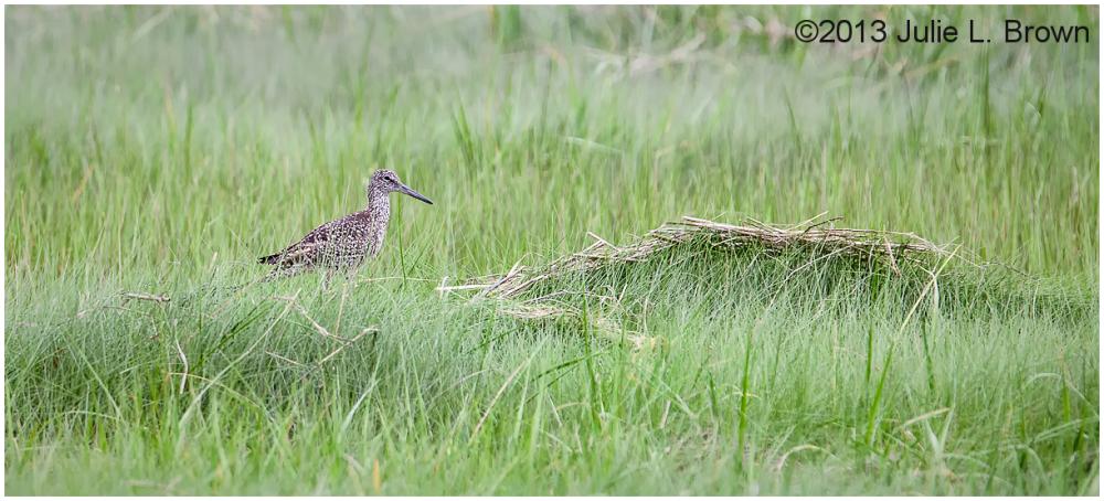 eastern willet breeding plumage scarborough marsh