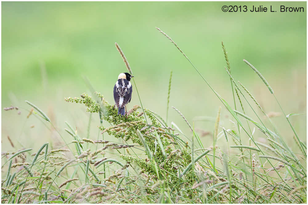 male bobolink in environment great salt bay farm