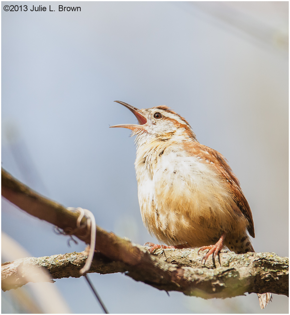 carolina wren singing eagle creek park indiana