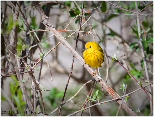 male yellow warbler eagle creek park indianapolis