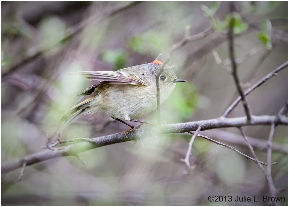 male ruby-crowned kinglet showing crest
