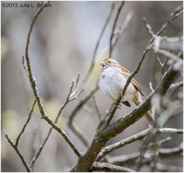 white-throated sparrow eagle creek park indiana