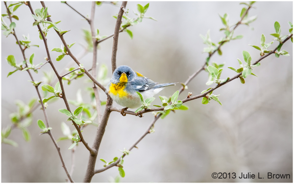 northern parula eagle creek park indianapolis