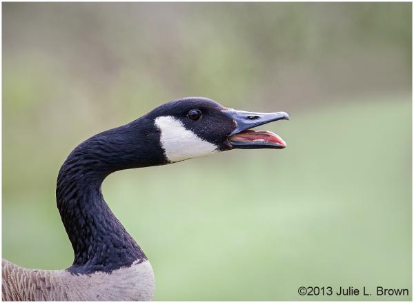 canada goose calling