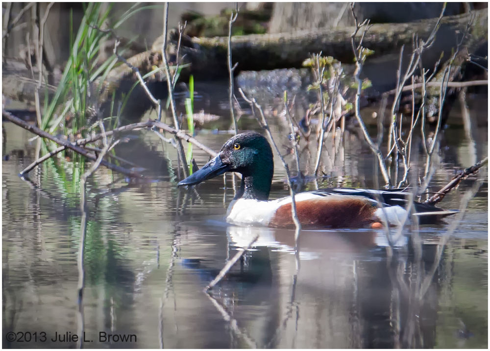 breeding northern shoveler drake eagel creek park